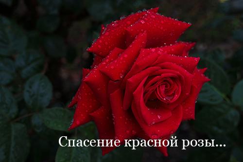 Спасение красной розы